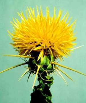 The Starthistle Fly-In gets its name from this memorable, thorny plant which is a noxious weed introduced to the Western US from the Mediterranean region.